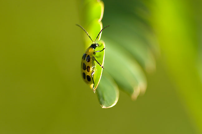 A Spotted Cucumber Beetle on a Mimosa clings to a Mimosa leaf; this bug is about the size of a match head.
