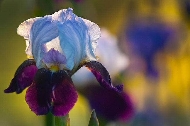 A more complex and rewarding image: a two-color iris is illuminated by the last of the evening light.