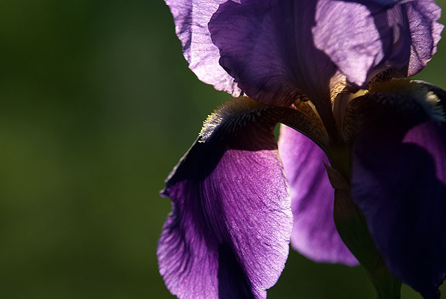 The delicate beauty of a deep purple iris shines in late afternoon light.
