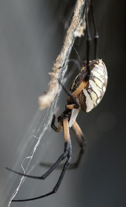 I shot this Argiope aurantia in the yard this evening, with my Tokina 100mm f/2.8 macro lens.