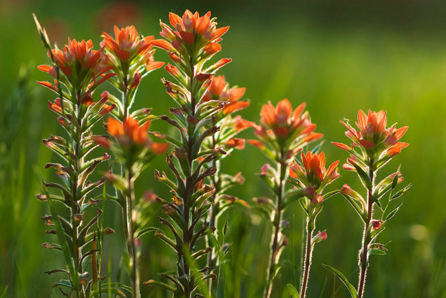 Indian Paintbrush, 85mm f/1.8 at f/2.5, sunny light.