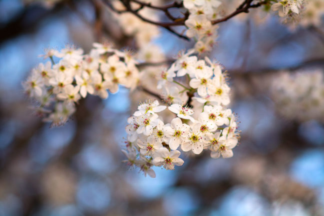 I shot this image of a Bradford pear tree in bloom with my 1993-era AF Nikkor 85mm f/1.8. As you can see, the bokeh is a bit disappointing.