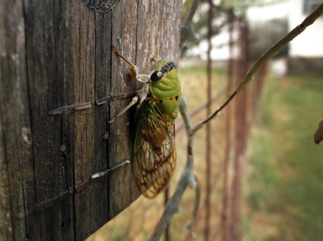I photographed this cicada on the fence in our front yard this morning with the Fujifilm AX-655.