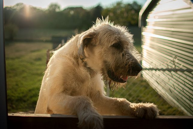 Hawken, our ten month old Irish Wolfhound, puts his paws on the gate at the back of the garage. Shot with my AF-S Nikkor 35mm f/1.8 at f/1.8, it is sharp, and exhibits a pleasing selective focus.