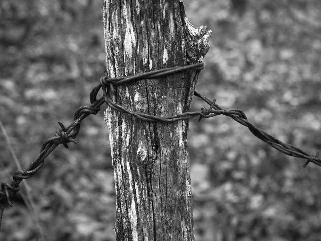 Barbed wire clings to a branch as part of a makeshift fence.