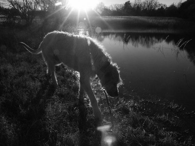 Hawken explores the pond.