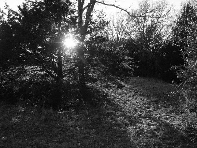 The sun shines through a cedar.