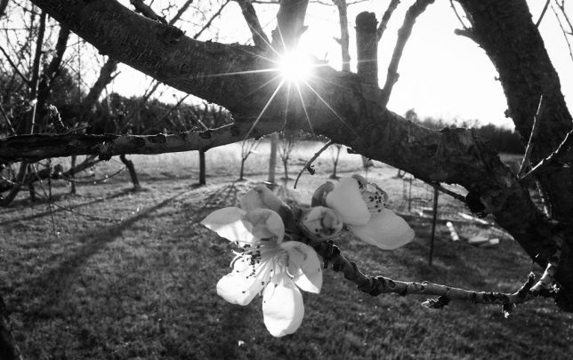 Peach blossoms reach for the setting sun.