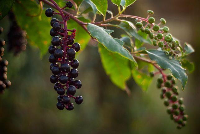 Poke berries dangle in the back yard.