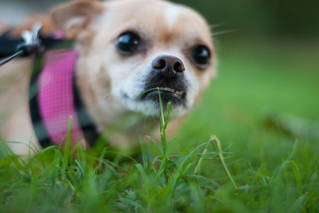 This is a happy accident of photography, shot from ground level with no effort to see through the viewfinder or on the monitor. The image is of our sweet little Chihuahua Summer, who, like most dogs, wil come to you out of curiosity when you kneel, sit, or lie down.
