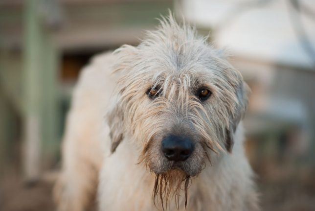 We buy large-maximum-aperture telephoto lenses to use them at those big apertures, as in this image of Hawken, our Irish Wolfhound, made a couple of nights ago, shot at f/1.4.