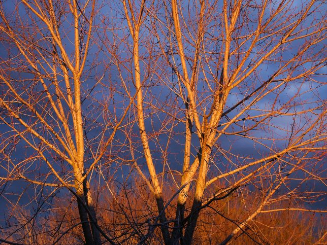Last light catches the treetops last night in our front yard.