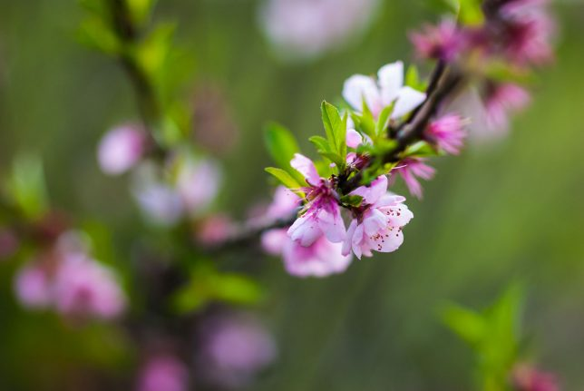 Peach blossoms gently sway in a light breeze.
