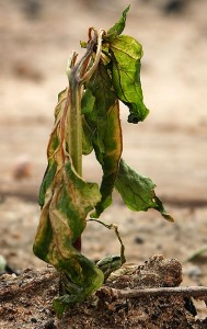 Frost-withered bell pepper plant
