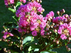 Abby's crepe myrtle in the front yard, which decided to bloom suddenly.