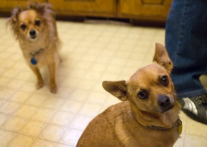 Sierra and Max wait for fallen treats in the kitchen