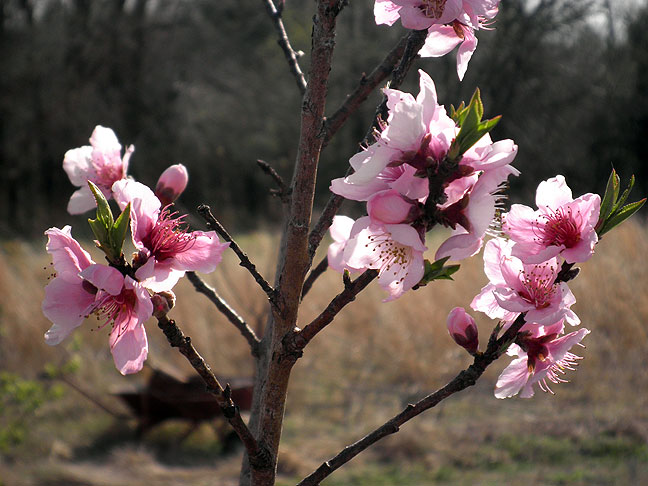 Peach blossoms on my orchard