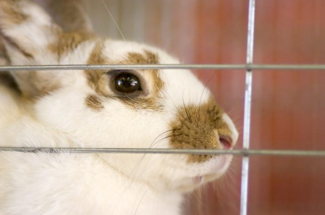 A rabbit ponders its destiny at the 94th annual Pontotoc County Free Fair at the Pontotoc County Agri-Plex Thursday, Sept. 2, 2010.