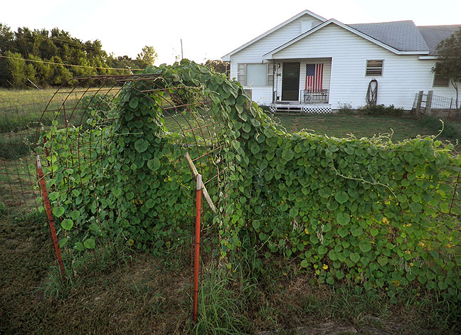 Our vine-covered cottage in the county; I have removed this morning glory on the front fence many times over the years, since Abby doesn't like it, but it's back, and I think it might be here to stay.