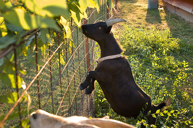 Coal the goat stands on his hind legs to reach branches of trees I brought him and his brother Buxton from my tree-trimming adventure tonight.