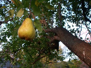 The last pear on Dorothy's tree; it was one of the best I have ever had from that tree.