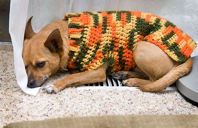 Max the Chihuahua, donning his Abby-made sweater, lies on a heater vent to keep warm.