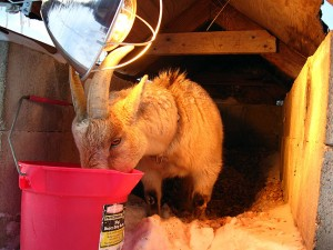 Buxton the Goat, hiding from the weather in his dog house with his heat lamp, drinks warm water from a bucket I brought him.
