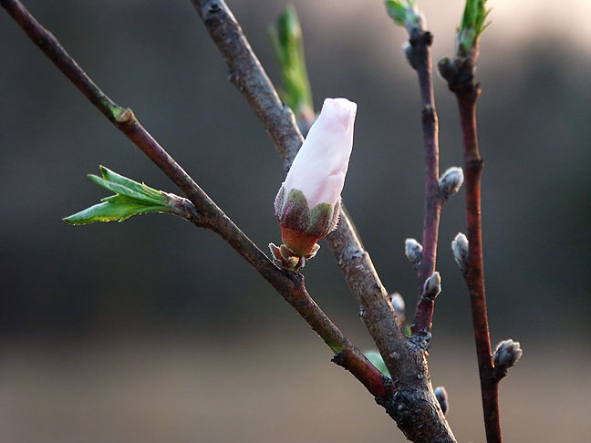 Peach blossom, possibly the earliest in the year I have seen them.