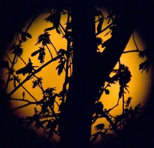 """One of our maple trees silhouetted against the """"supermoon"""" from two nights ago."""