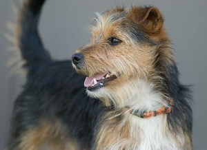 Lost terrier; email us and we'll get him home to you as soon as we can.