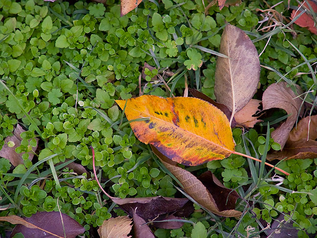 A fallen leaf near Dorothy's house nestles in ground-cover greened by recent rains.