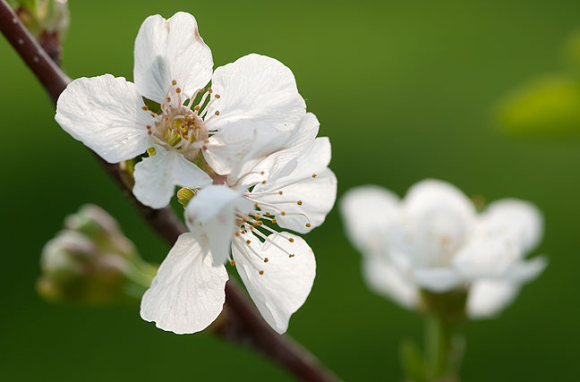 This is the first year my cherry trees, which I planted in 2007, have shown significant blossoms.