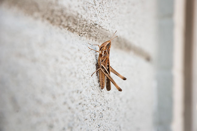 A grasshopper, one of many, clings to a wall in downtown Ada Friday morning, August 10.