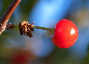 "My cherry trees, planted in 2007, finally have some fruit on them. These were far wilder tasting than ""wild cherry."""
