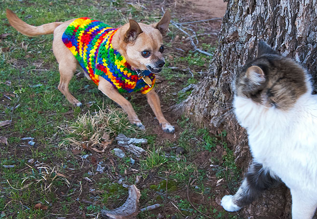 Max the Chihuahua confronts Boots the Cat in Ryan Sunday.