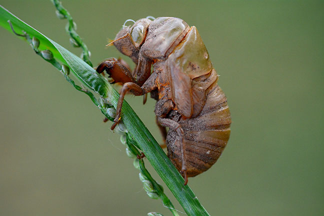 I took time out from my mowing to photograph the cicada shell, which clung to a sprig of tall grass.
