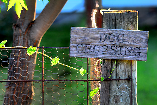 "Abby's ""Dog Crossing"" sign at the northeast corner of the front yard sits just beneath the maple I dug out of Dorothy's yard five years ago and planted in our yard. The vine is morning glory."