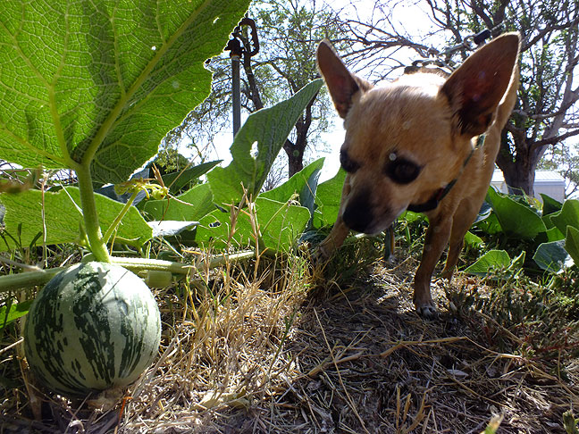 Max the Chihuahua inspects some prairie gourd in Ethel's park this morning.