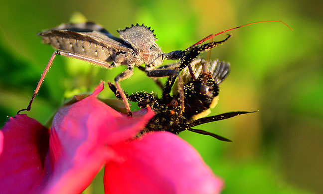 A wheel bug consumes a bumblebee after killing it atop one of our Rose-of-Sharon bushes last night.