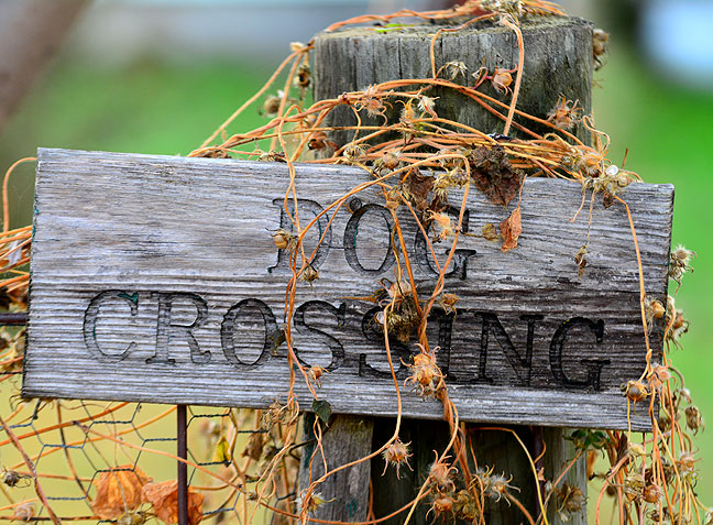 "Abby's ""Dog Crossing"" sign, which I photographed twice this year as the seasons changed on it, is now covered in browning Morning Glory, which is done for the season."
