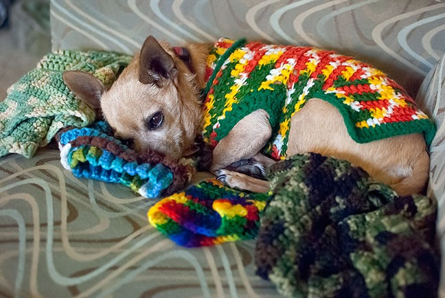 Wearing one of Abby's handmade sweater, Max the Chihuahua naps on a pile of other handmade dog sweaters I just pulled out of the dryer.