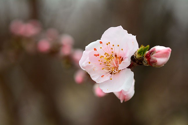 As is often the case, a stretch of warmish weather has deceived my peach trees into blossoming too early.