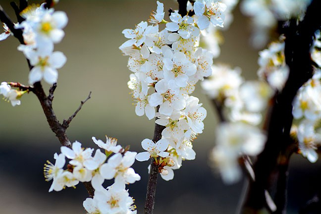 These are blossoms on one of my plum trees. From a distance, they look like popcorn.