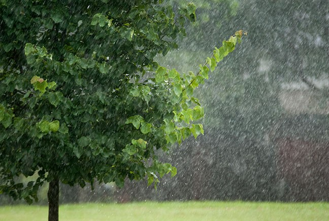Rain pours on our Redbud tree this afternoon.