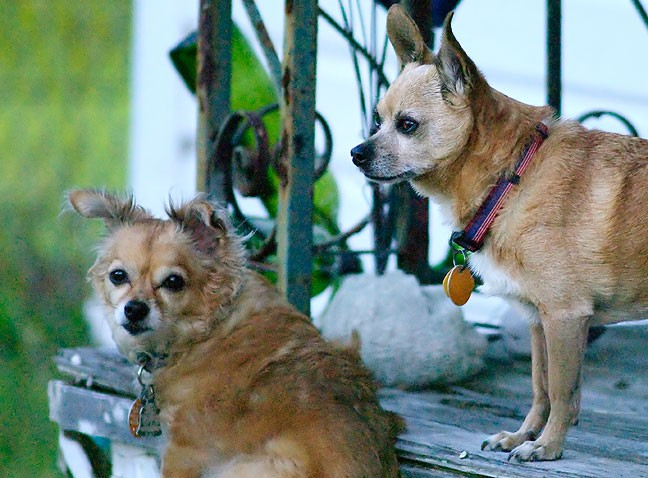 Our Chihuahuas, Sierra and Max, wait on the front porch for me to finish with my outdoor chores.
