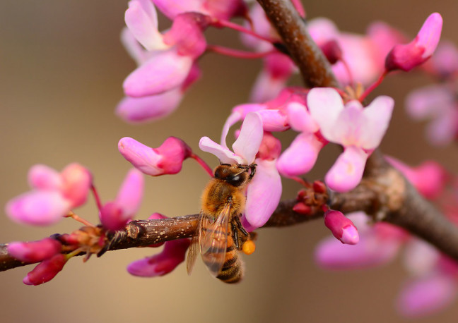 A honey bee harvests from Abby's redbud tree in front of our house yesterday.