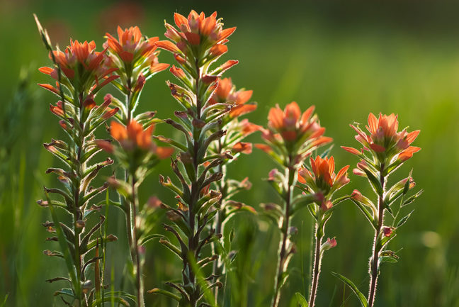 I watched the light as I worked outside last night, and was ready to photograph these Indian Paintbrush in the pasture near sunset. They are Abby's favorite flower.