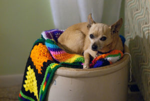Not to be outdone in cuteness, Max the Chihuahua has recently claimed the yarn bin as his own.