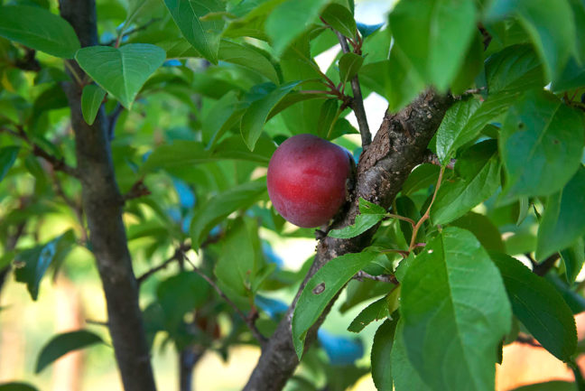 I discovered this small, single plum on one of my plum trees the other day. While peaches seem easy to grow, plums are apparently very finicky about conditions. I seldom see any on my trees.