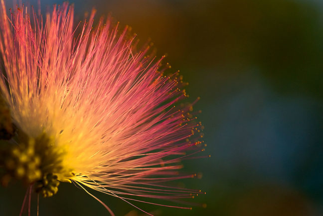 Set against tree and sky, this mimosa flower picks up excellent evening light yesterday.